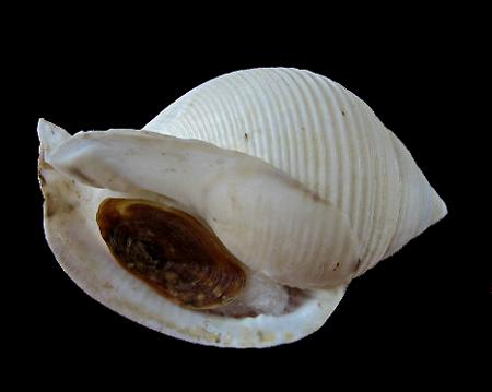 Galeodea rugosa - (Linnaeus, 1771) 0314_g10