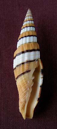Vexillum citrinum - (Gmelin, 1791) & Vexillum regina - (Sowerby I, 1828) 0326_v10
