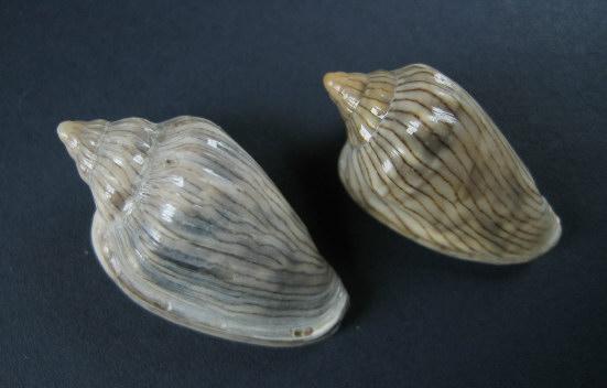 Marginella (Lamarck, 1799) - Pour les collectionneurs de Marginelles 0426_g10