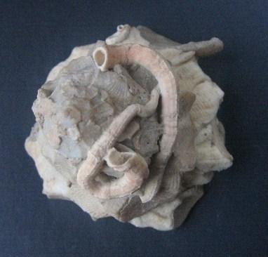 Xenophora crispa - (König, 1825)  0606_x13