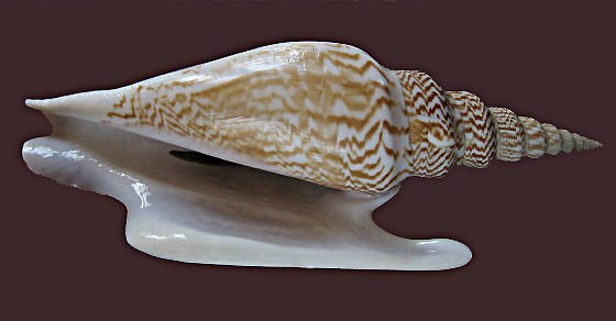 Strombidae Mirabilistrombus listeri - (Gray, 1852) 0807_s10