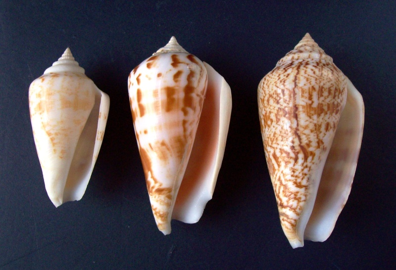 Conomurex persicus - (Swainson, 1821) 100_0613