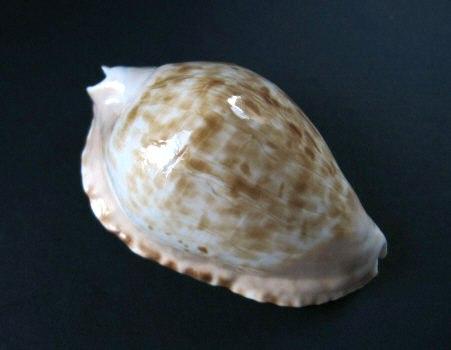 Zoila marginata - (Gaskoin, 1849) 1060_m10