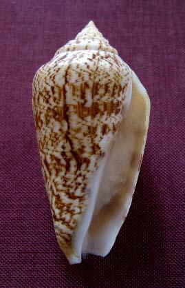 Conomurex persicus - (Swainson, 1821) 1121_s10