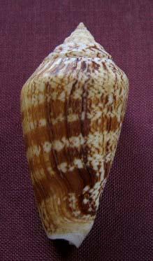 Conomurex persicus - (Swainson, 1821) 1121_s11