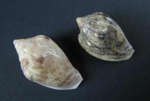 Marginella (Lamarck, 1799) - Pour les collectionneurs de Marginelles 1206_g11