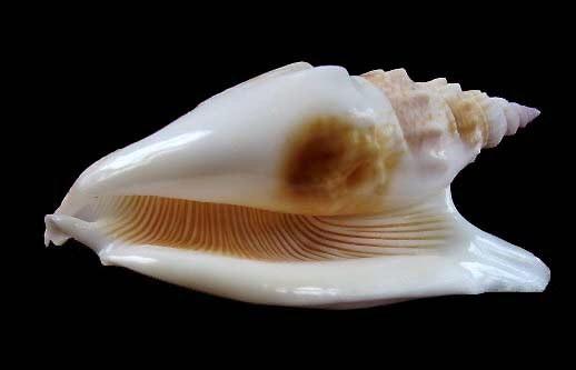 Euprotomus vomer - (Röding, 1798) 1217_s10