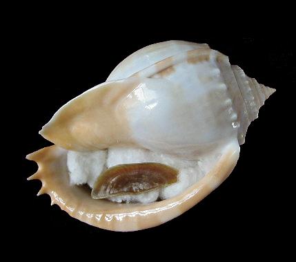 Phalium glaucum - (Linnaeus, 1758) 1222_p10
