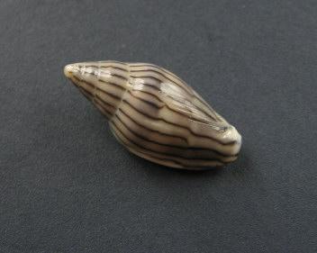 Marginella (Lamarck, 1799) - Pour les collectionneurs de Marginelles 1263_m10