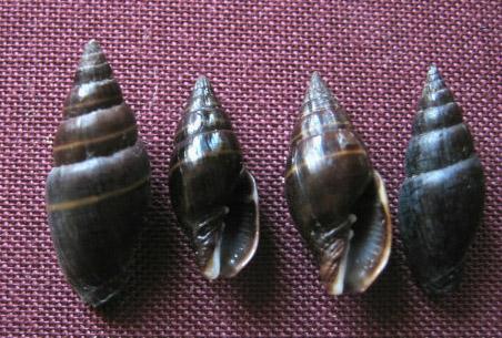 Pusia ebenus - (Lamarck, 1811) 128_ve11