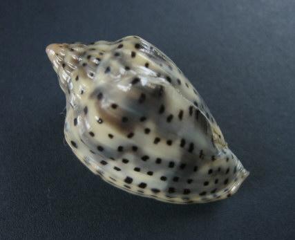 Marginella (Lamarck, 1799) - Pour les collectionneurs de Marginelles 1358_g10