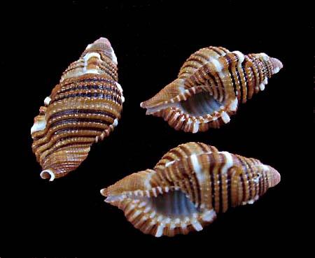 Septa rubecula - (Linnaeus, 1758) 1391_c10