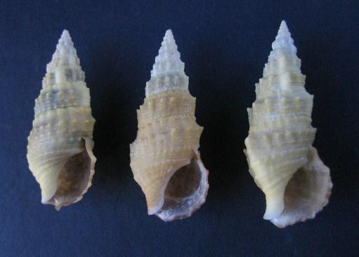 Cerithium du golfe de Gabbès (Tunisie) 1467_c10