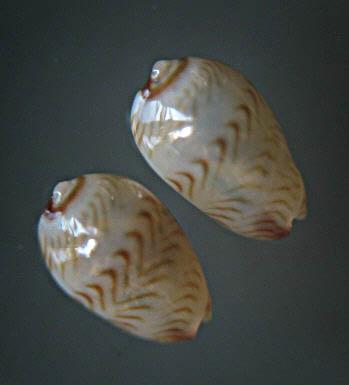 Marginella (Lamarck, 1799) - Pour les collectionneurs de Marginelles 1496_g10