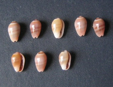Marginella (Lamarck, 1799) - Pour les collectionneurs de Marginelles 1844_g10