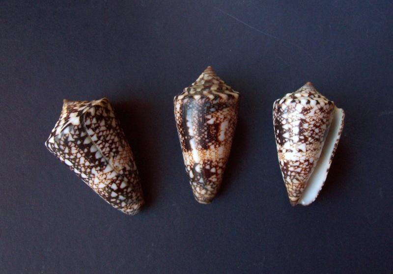 Conus (Leptoconus) locumtenens - Blumenbach, 1791 1894_l10