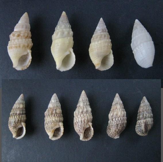 Cerithium du golfe de Gabbès (Tunisie) Cerith10
