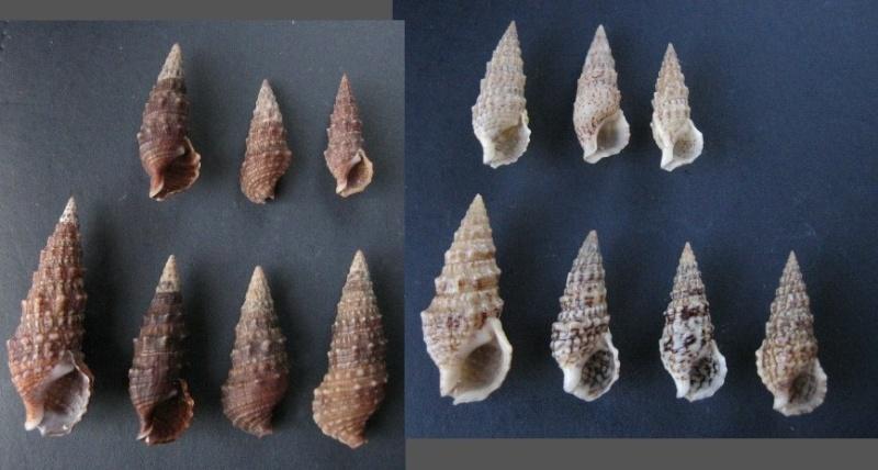 Cerithium du golfe de Gabbès (Tunisie) Cerith12