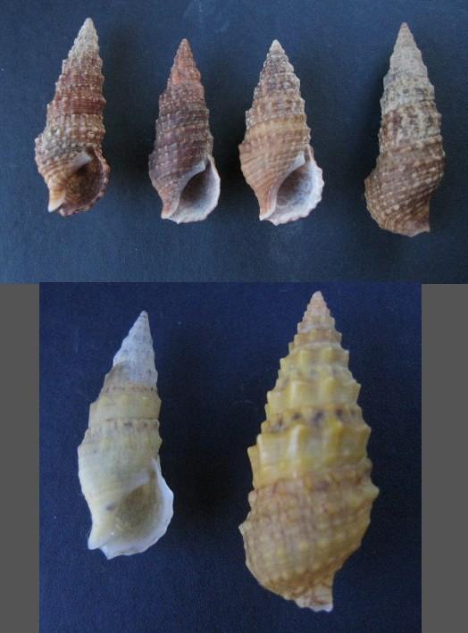 Cerithium du golfe de Gabbès (Tunisie) Cerith13