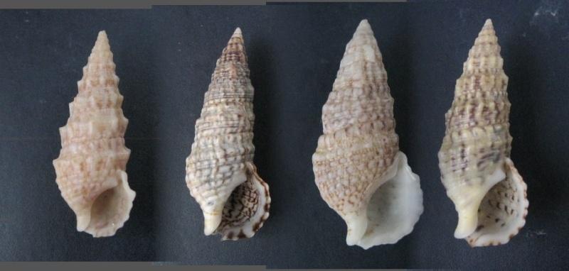 Cerithium du golfe de Gabbès (Tunisie) Certhi10