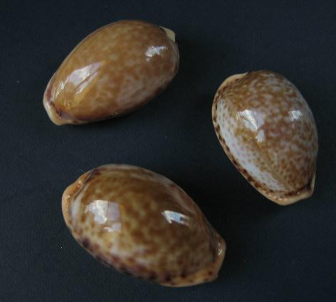 Palmadusta clandestina clandestina - (Linnaeus, 1767) representé par Palmadusta clandestina - (Linnaeus, 1767) Divers10