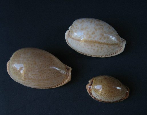 Palmadusta clandestina clandestina - (Linnaeus, 1767) representé par Palmadusta clandestina - (Linnaeus, 1767) Divers11