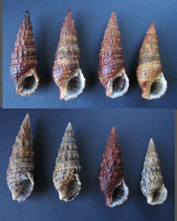 Cerithium du golfe de Gabbès (Tunisie) Sans_t17