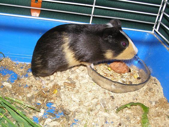Cobayashi cobaya e adopcion PADE protectora animales domesticos y exóticos Cobaya10