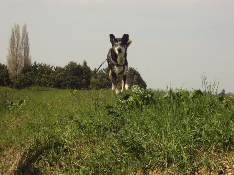 Bergson x husky mâle de 9 ans  ADOPTE - Page 4 Dsc00510