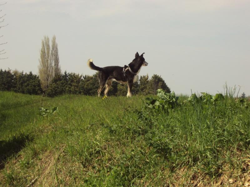 Bergson x husky mâle de 9 ans  ADOPTE - Page 4 Dsc00511