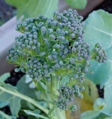 Still waiting for my Broccoli, Cauliflower and Cabbage to finish growing Brocco12