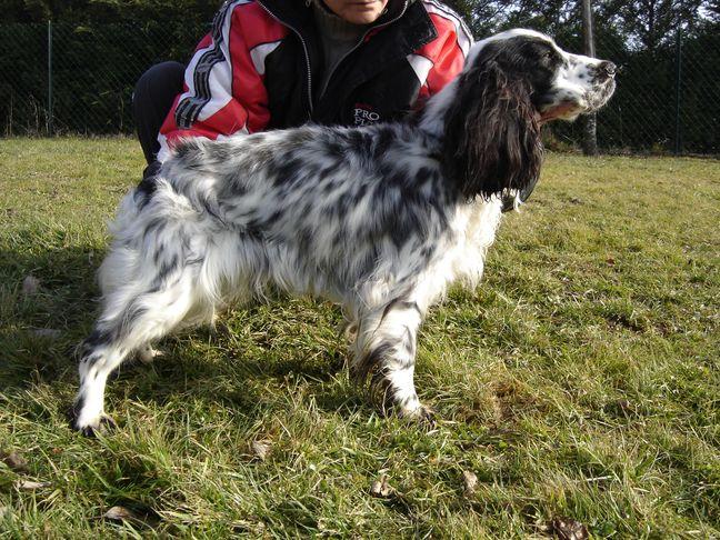 Vaika - femelle cocker noir/blanc - 6 ans rhone/alpes Ir41ij10