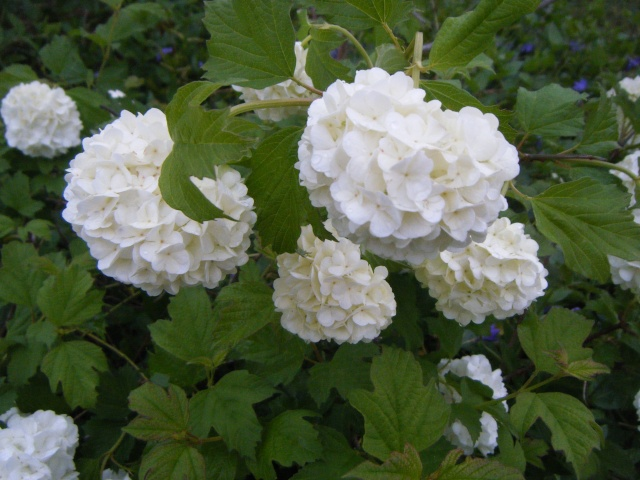 Photo des fleurs de tigrette Dscf0611