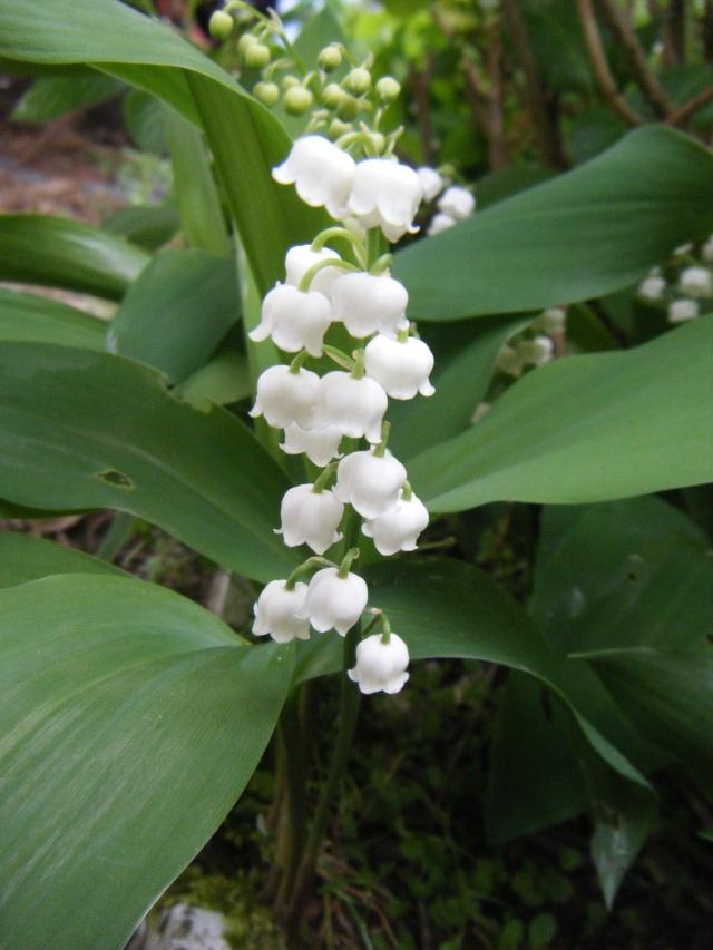 Photo des fleurs de tigrette Dscf0612