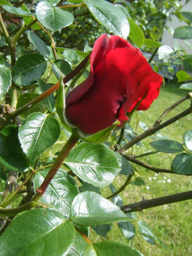 Photo des fleurs de tigrette Dscf0712