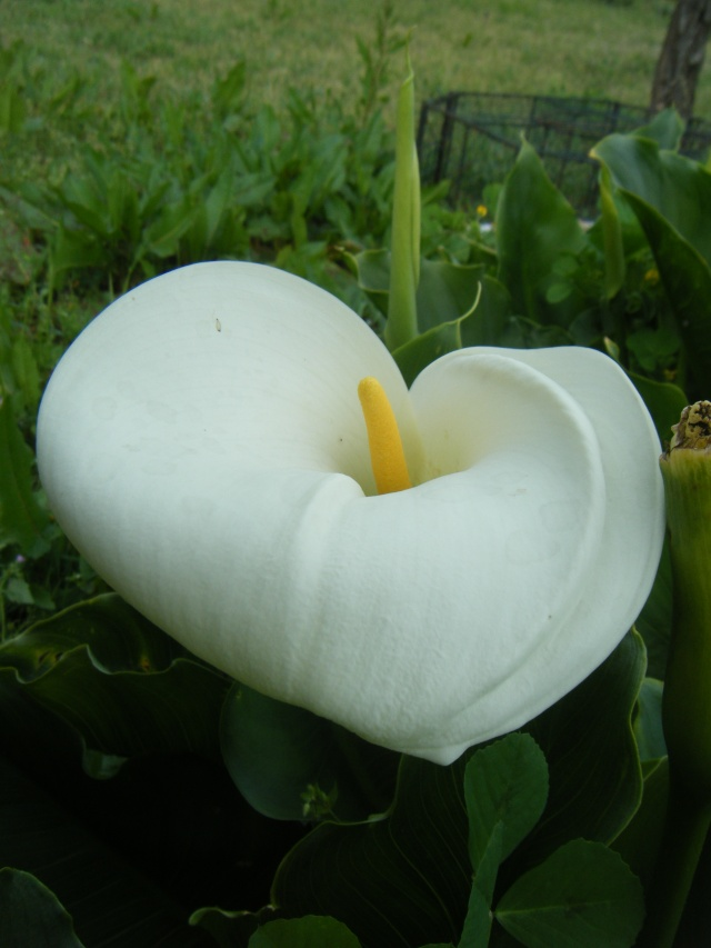 Photo des fleurs de tigrette Dscf0713