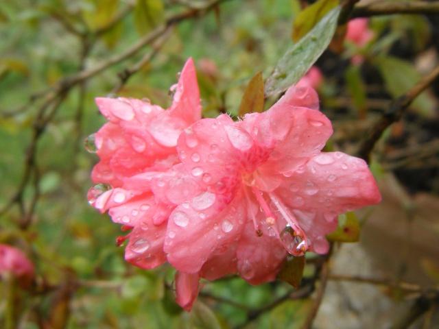 Photo des fleurs de tigrette Dscf9410