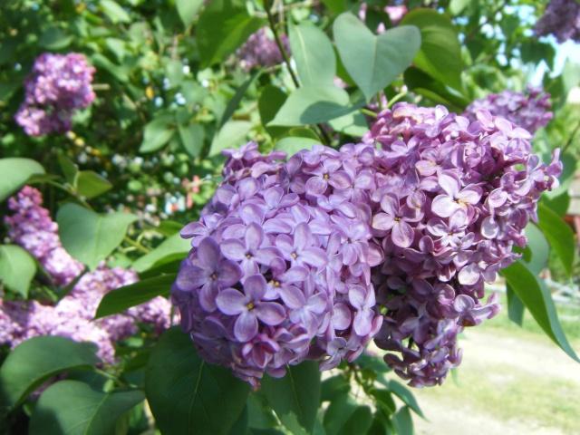 Photo des fleurs de tigrette Dscf9510