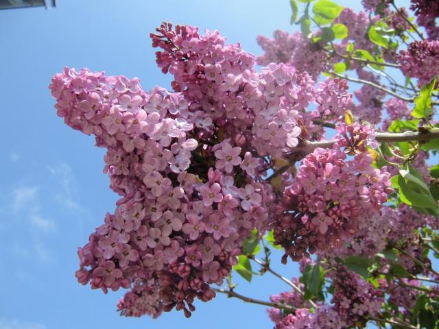 Photo des fleurs de tigrette Img_0716