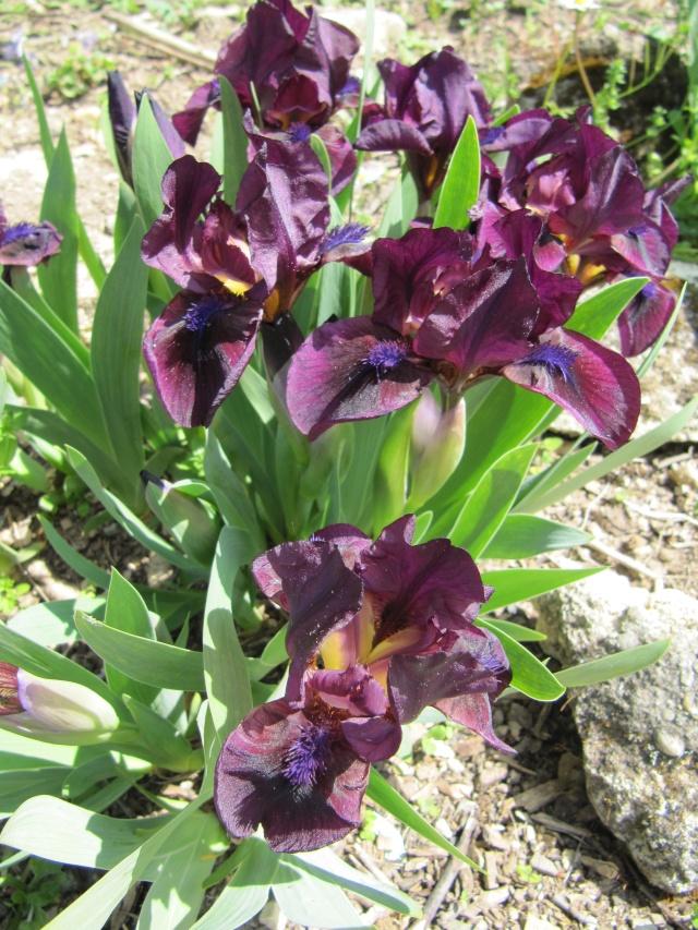 Photo des fleurs de tigrette Img_0717