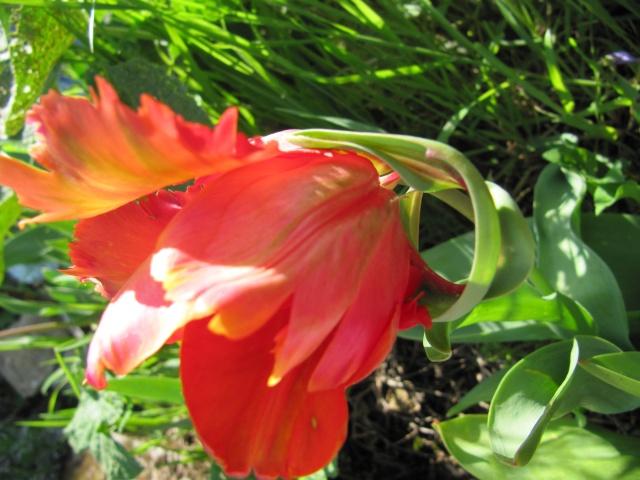 Photo des fleurs de tigrette Img_0810