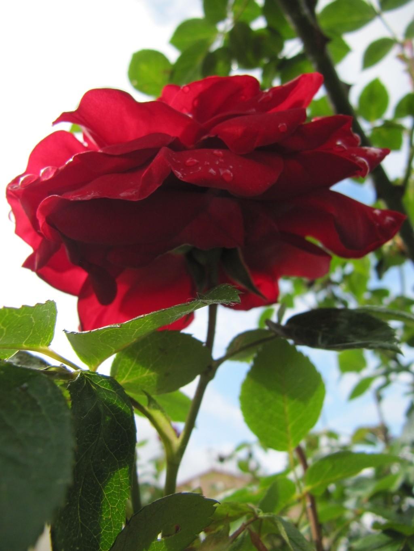 Effet rose rouge 2010 Img_1015
