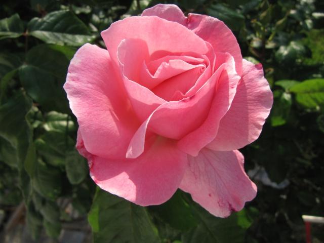Photo des fleurs de tigrette Img_1510