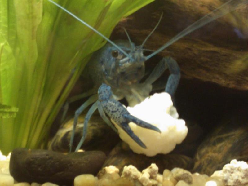 alleni - Procambarus alleni Ecrevisse bleue de floride Dsc_0018