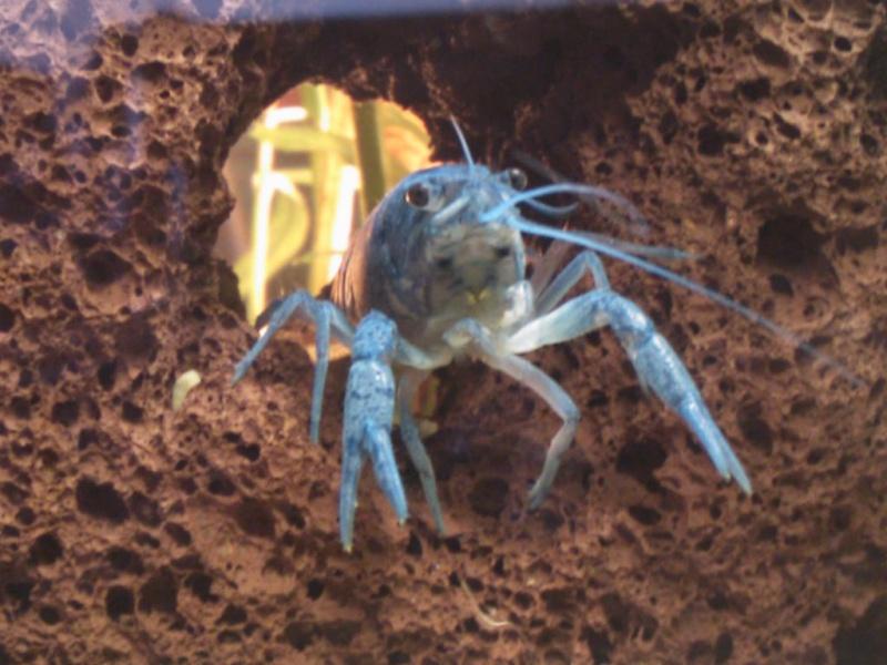 alleni - Procambarus alleni Ecrevisse bleue de floride Dsc_0019