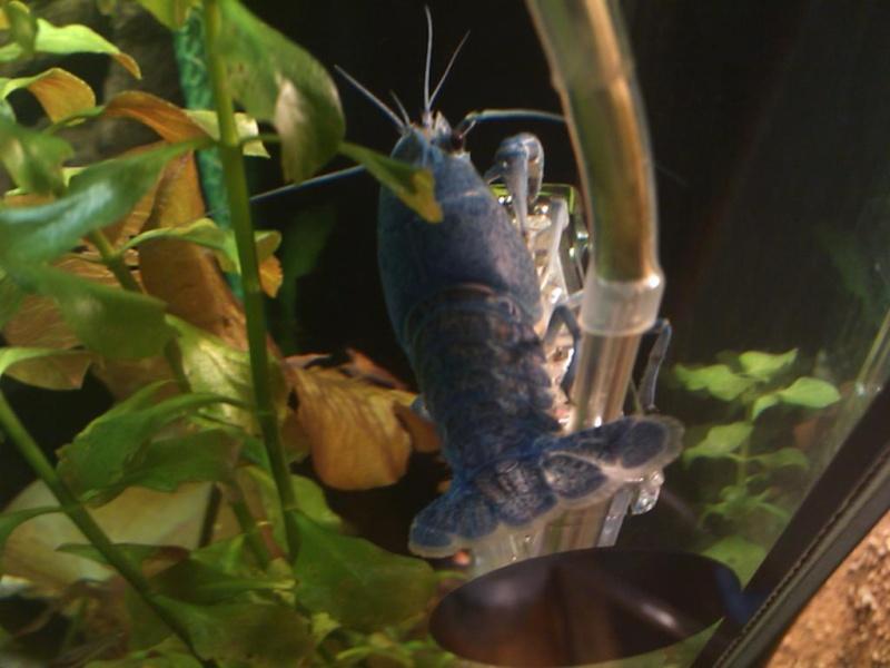 alleni - Procambarus alleni Ecrevisse bleue de floride Dsc_0117
