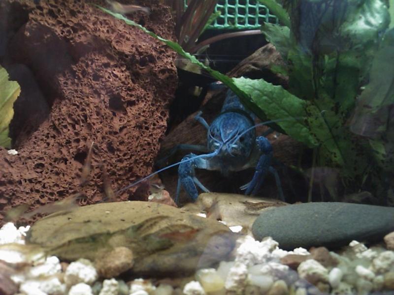 alleni - Procambarus alleni Ecrevisse bleue de floride Dsc_0120