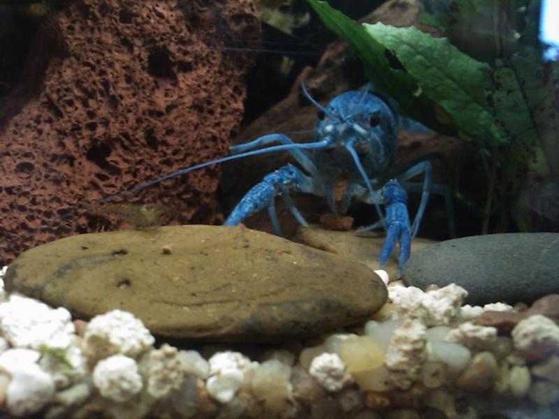 alleni - Procambarus alleni Ecrevisse bleue de floride Dsc_0210
