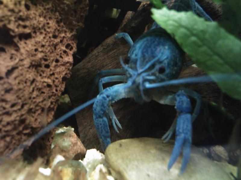 alleni - Procambarus alleni Ecrevisse bleue de floride Dsc_0211