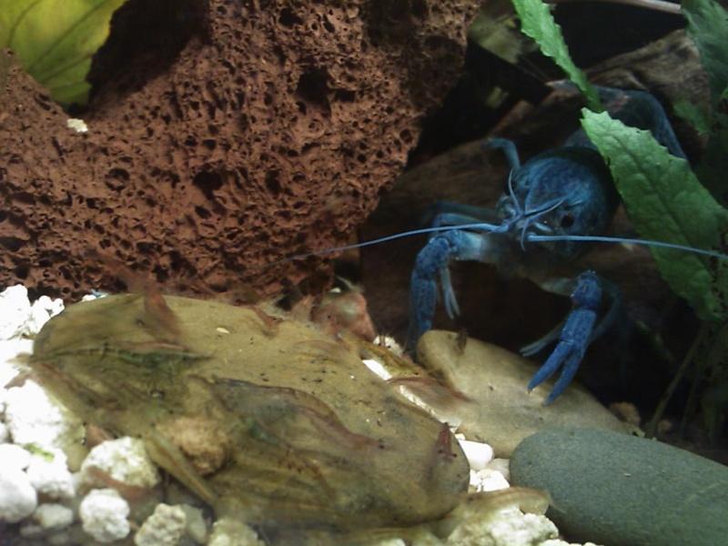 alleni - Procambarus alleni Ecrevisse bleue de floride Dsc_0212